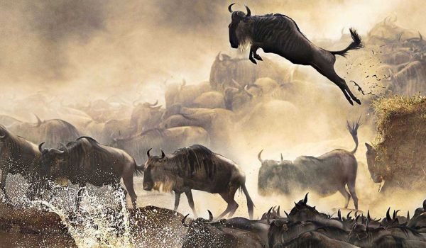 Wildebeest Migration Safari Packages | 3 Days 2 Nights Safari Package | Mara, Samburu, Amboseli & Tsavo